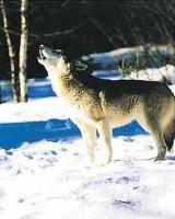 """Животные. """"Волк воет"""", размер 20х25 - ДЕКАРТ - настоящая багетная мастерская на Московской!"""